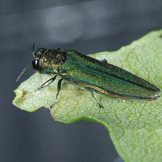 Emerald Ash Borer beetle. USDA photo.