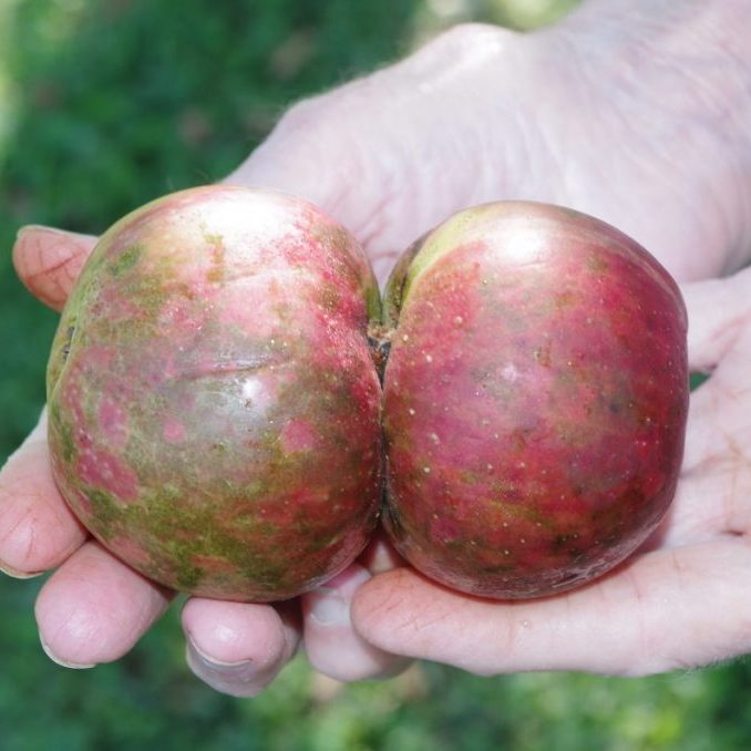 TWIN APPLES — Joan Barnes, of the Bethlehem Community, showed these twin apples from her Stayman Winesap tree to The Times on August 18. The pair shares a common stem. Unfortunately, they fell from the tree before ripening. This same tree also currently bears another twin pair among its many fruit.